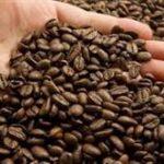 تولید دانه قهوه اسپرسو مرغوب