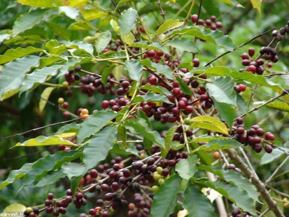 خرید بهترین قهوه سبز برزیل عمده در اصفهان