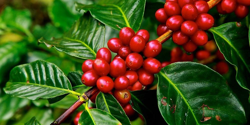قیمت قهوه عربیکا سبز پارشمنت